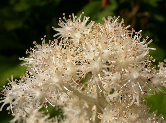 Rodgersia podophylla, close up of flowers, Bodnant Gardens, North Wales, UK, Photographer: Paul Kennett