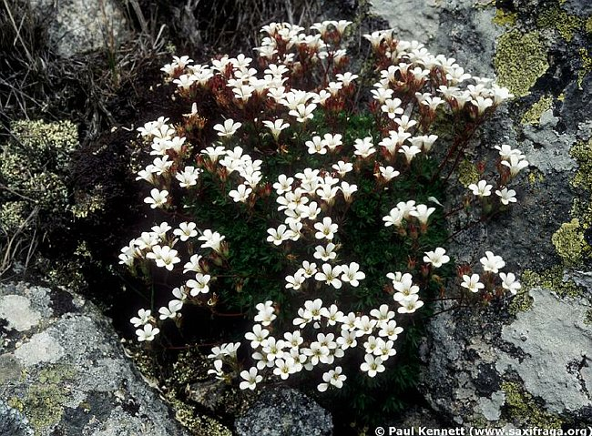 Saxifraga pedemontana ssp. cervicornis, whole plant, nr Aullène, Corsica, France, Photographer: Paul Kennett