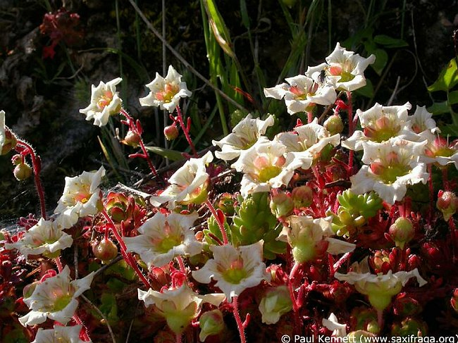 Saxifraga reuteriana, section of strongly coloured specimen with red flushed sepals, Sierra de Valles above Estacion de Gobantes, Andalucia, Spain, Photographer: Paul Kennett